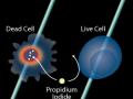 流式方法使用PI对细胞活性进行测定