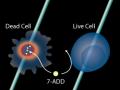 流式方法使用7-AAD(7-Amino Actinomycin D)测定细胞活性