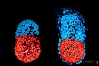 科学家首次在实验室中培育出高度仿真的小鼠胚胎