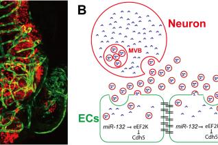 上海生科院发现脑血管完整性的神经调节机制