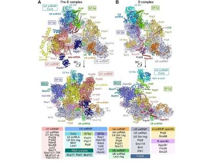 施一公教授研究组在《科学》发表关于酿酒酵母剪接体激活的最新成果