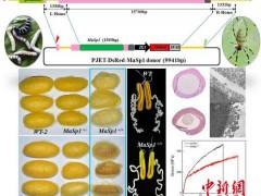 科学家利用新转基因技术大量获取蜘蛛丝蛋白