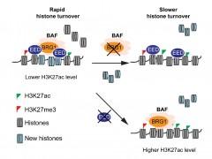 北京大学团队研究揭示心肌细胞核小体更新机制(附图)