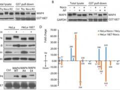 中科院遗传发育所在HPV病毒致癌分子机制方面取得进展