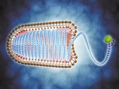 "RNA""插手""后 防御病毒不再依赖免疫系统"